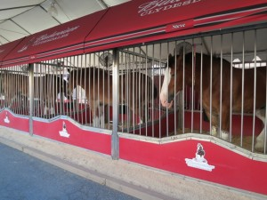 IMG_0068_budweiser_clydesdale_horses