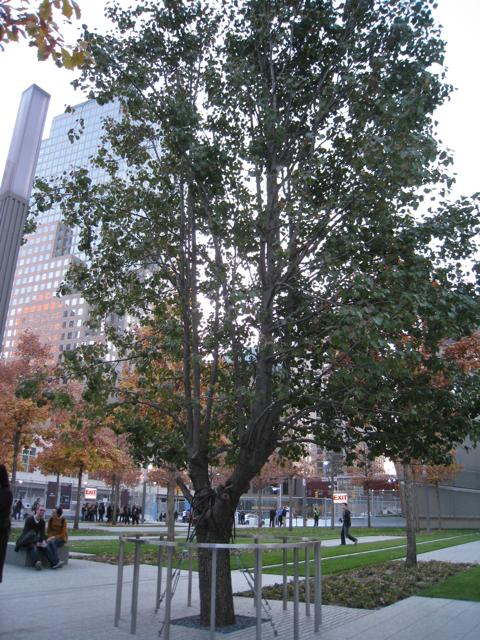 Survivor Tree at 9/11 Memorial Site